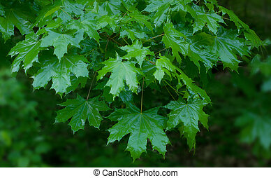 Shiny green leaves of a maple