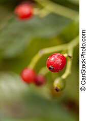 Shiny-leaved wild coffee Psychotria nervosa Rubiaceae found in Florida, West Indies and Central and South America.