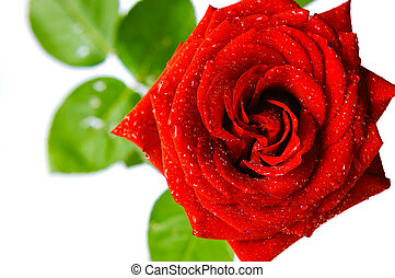shiny red rose with water drops on white background