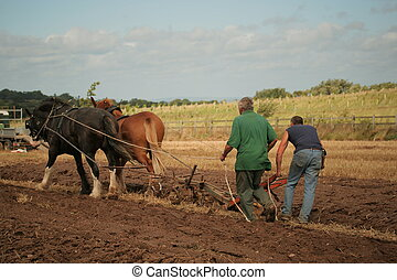 shire horses ploughing - two men using shire horses to...