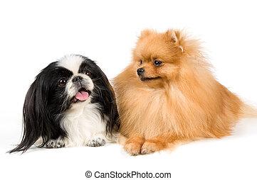 Shitsu and the spitz-dog in studio