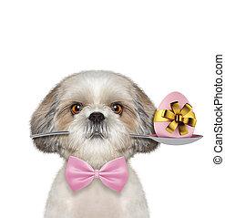 shitzu, σκύλοs , με , κουτάλι , και , πόσχα , egg., απομονωμένος , αναμμένος αγαθός