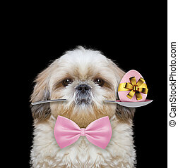 shitzu, σκύλοs , με , κουτάλι , και , πόσχα , egg., απομονωμένος , επάνω , μαύρο
