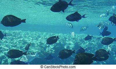 Shoal of black spherical fish swimming in the light blue...