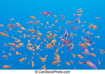 shoal of exotic fishes Anthias in tropical sea, underwater