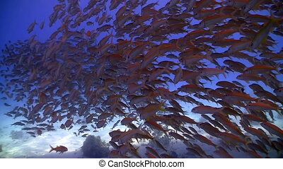 shoal of fish on the coral reef - shoal of fish on the coral...