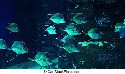 shoal of fish Selena vomer swims underwater in an aquarium