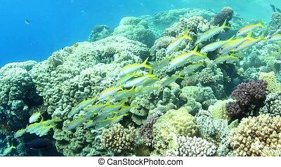 Shoal of fish - Shoal of Yellowfin Goatfish, swimming around...