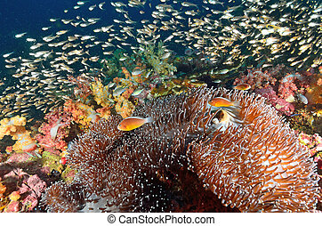 Shoal of Glassfish (Golden Sweepers) and anemonefish in clear blue water
