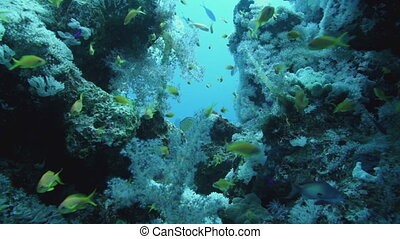Shoal of Glassfish (Golden Sweepers) in clear blue water of the Red Sea