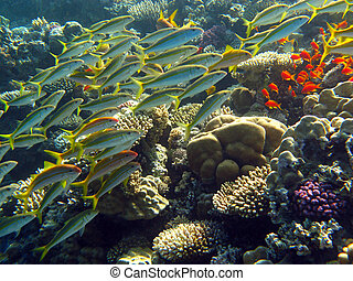 shoal of goatfishes under the coral reef in red sea