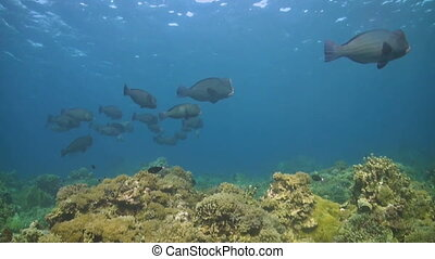 Shoal of Humphead Parrotfish - A coral reef with a shoal of...