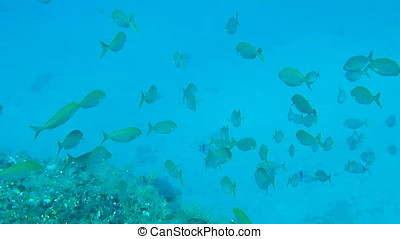 Shoal of Salema - Underwater footage of a shoal of Salema
