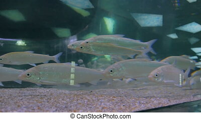 Shoal of silver fishes swimming in huge aquarium....