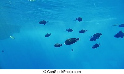 Shoal of striped spherical fishes swimming over reefs in...