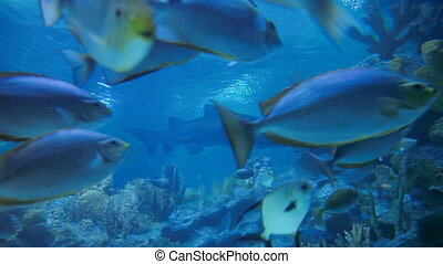 shoal of sturgeon fishes in special tank.