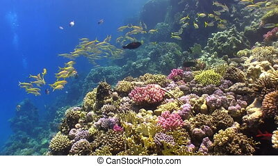 Shoal of Yellow Fish on Coral Reef