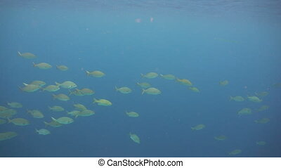 Shoal tropical fish.Philippines - Shoal Fish in ocean....