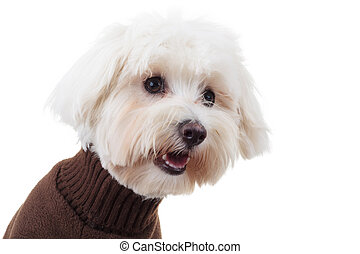 shocked bichon puppy dog wearing clothes looks to side