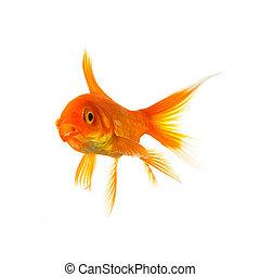 shocked goldfish - A goldfish is shocked isolated on white ...