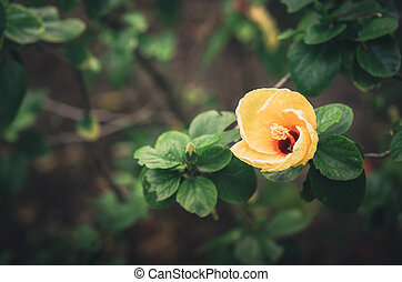 Shoe Flower or Hibiscus vintage - Shoe Flower or Hibiscus or...