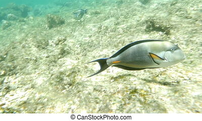 Shohal Surgeon Fish Acanthurus Sohal
