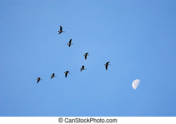 Shoot For the Moon - Geese in v formation against blue sky...