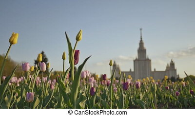 Shooting against a background of multi-colored tulips at sunset. Lomonosov State University, iconic building and sightseeing in Moscow, Russia.