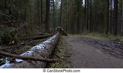 Shooting of fallen pine tree in the forest