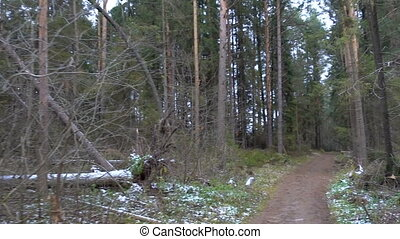 Shooting of forest cutting and the pine trees in late autumn