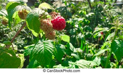 Video of ripening raspberry in the orchard during summer