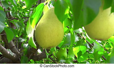Shooting of ripen pears hanging on the tree in sunny day - ...