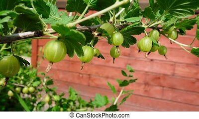 Video of unripen green gooseberry in the orchard