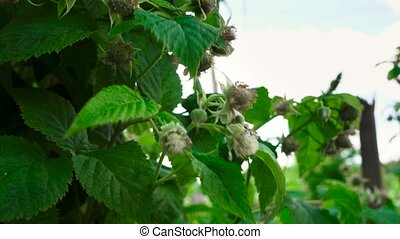 Video of unripen green raspberry in the orchard