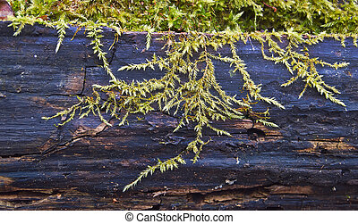 Shoots moss on the trunk of a dead tree.