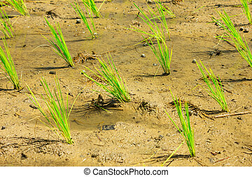 Shoots of rice in the fields