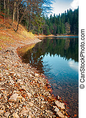 shore of Synevyr lake. fallen autumn foliage on the rocky...