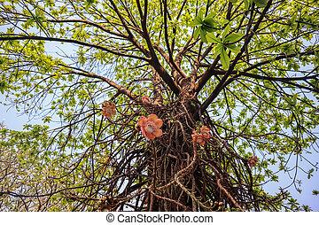 Shorea robusta,Shorea robusta tree, Shorea robusta Flower, ...