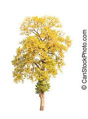 Shorea roxburghii, blossoming tropical tree in the northeast...