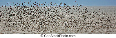 Flock of shorebirds (sandpipers, piping plovers) off shore in New Brunswick, Canada, during migration.