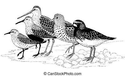Shorebirds of Homer - Shorebirds common to Homer, Alaska