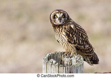 Short eared Owl - Short-eared Owl, at Boundary Bay, Delta, ...
