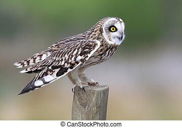 Short-Eared Owl - Closeup of a Short-Eared Owl on a...
