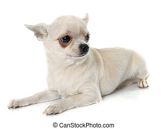 short hair chihuahua in front of white background