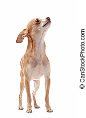 short hair chihuahua - portrait of a cute purebred short...