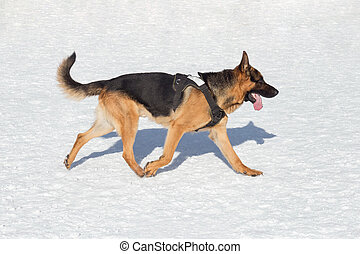 Short haired german shepherd dog is running on a white snow in the winter park. Pet animals.