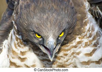 Short-toed snake eagle (Circaetus gallicus) - Portrait of a ...
