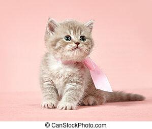 shorthair, británico, gatito
