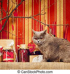 shorthair, británico, gato