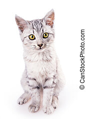 shorthair, gato